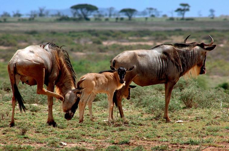 走入非洲·角马