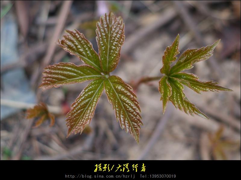 两片叶子的植物图片