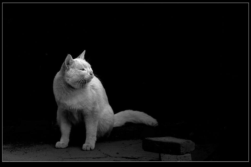 半黑半白猫头像