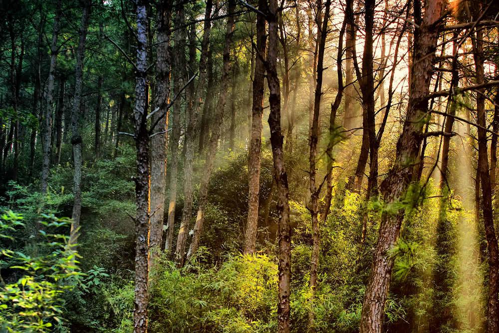 区内有茂密的松树林,清澈见底的溪流_乐乐简笔画