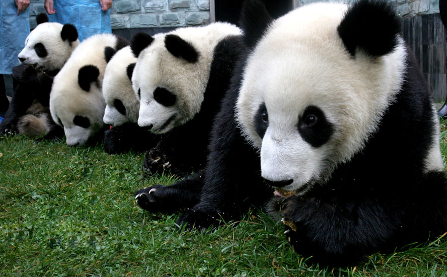 国宝大熊猫(排排坐)