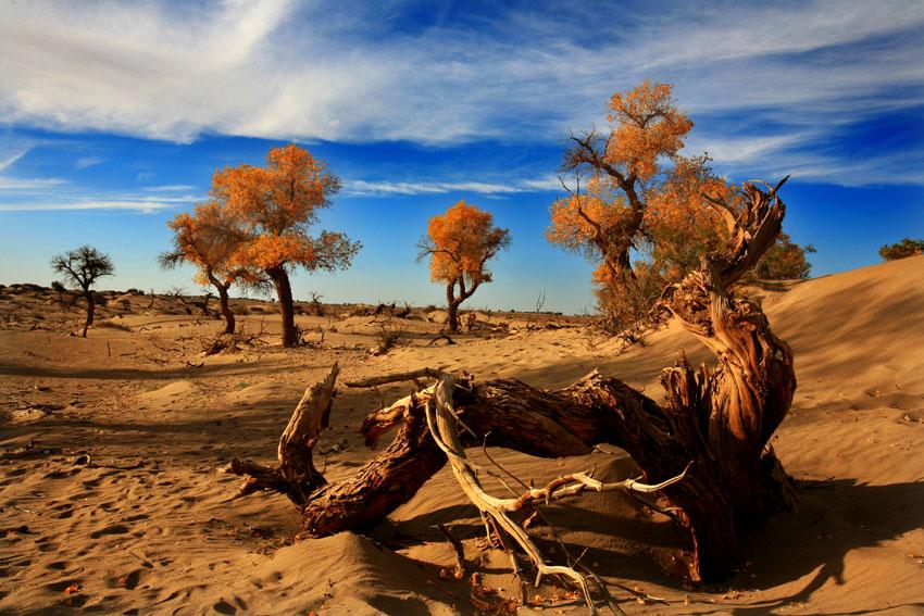 余秋雨曾赞美它说:胡杨树一千年不死,死了一千年不倒,倒了一千年不朽