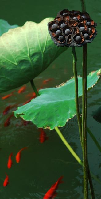鱼戏莲叶简笔画