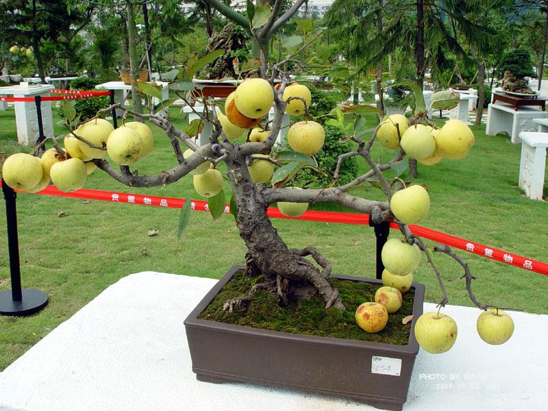 红心苹果树盆景