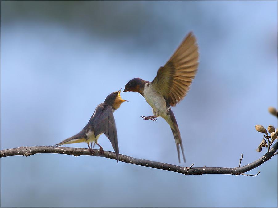 微信头像动物 可爱 小燕子