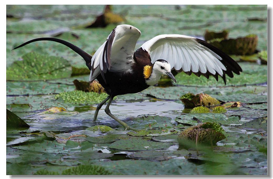 水凤凰--水雉