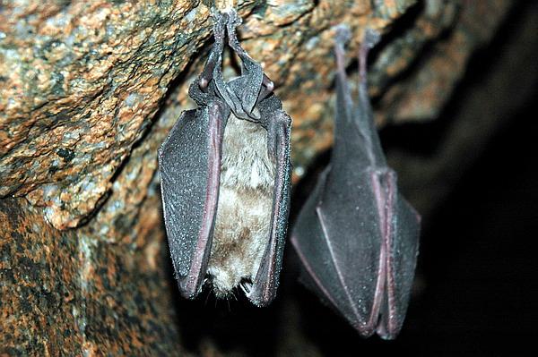 数百只冬眠蝙蝠[组图]_动物冬眠的图,蛇冬眠; 他们已经调用蝙蝠免疫