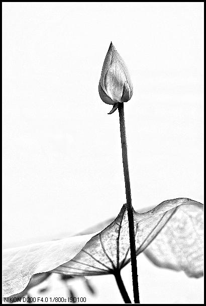 ctps.cn-- 黑白荷花 木子影图片