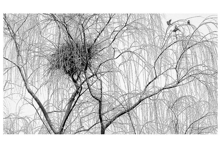素描柳树图片大全