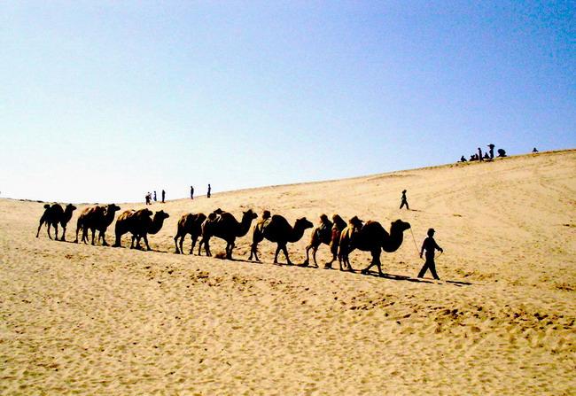 新疆沙漠骆驼队