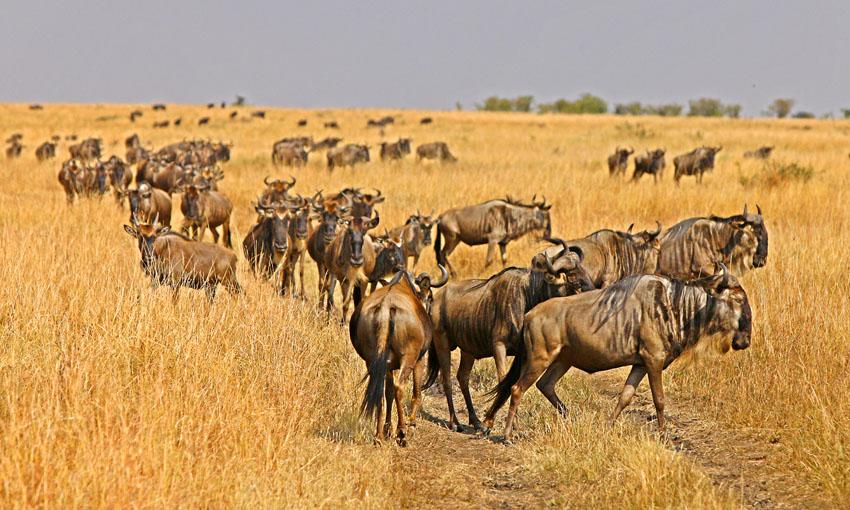 肯尼亚,野生动物大迁徙