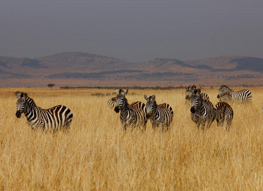 肯尼亚,野生动物大迁徙.