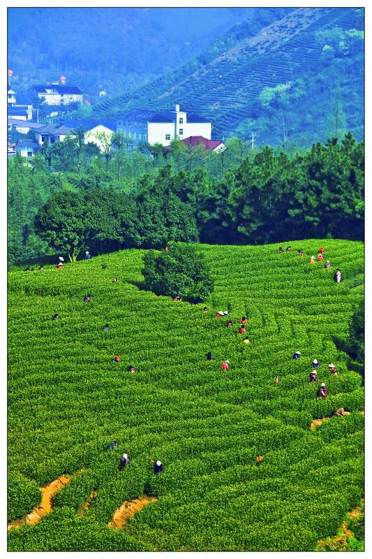 壁纸 草原 成片种植 风景 植物 种植基地 桌面 533_800 竖版 竖屏