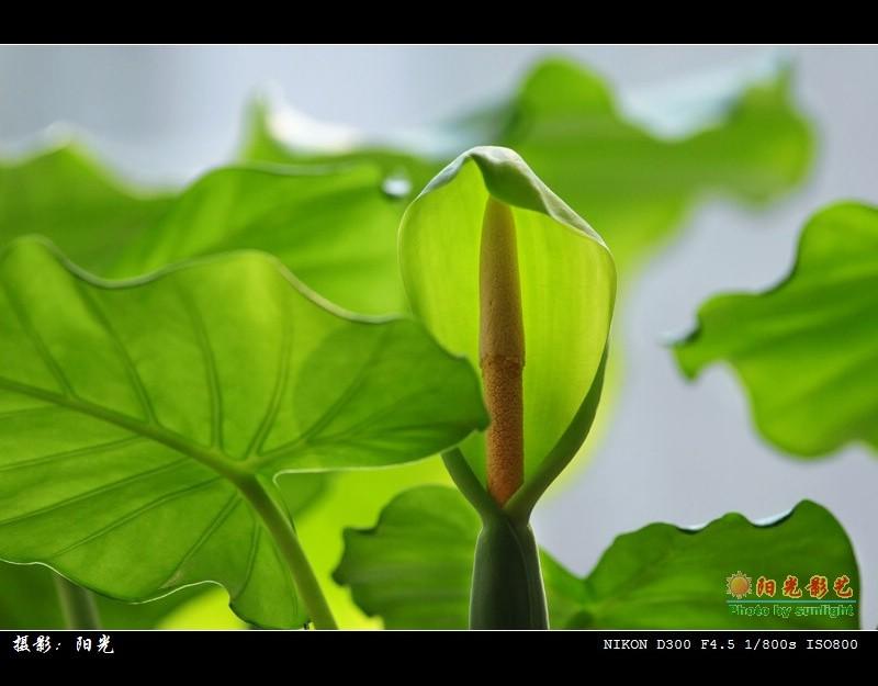 台湾阳明山 海芋花展示