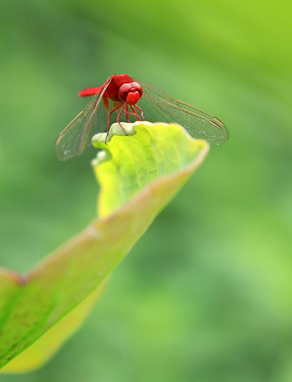 红蜻蜓 山里鱼