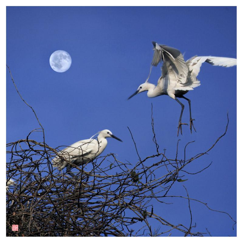 月光下的白鹭