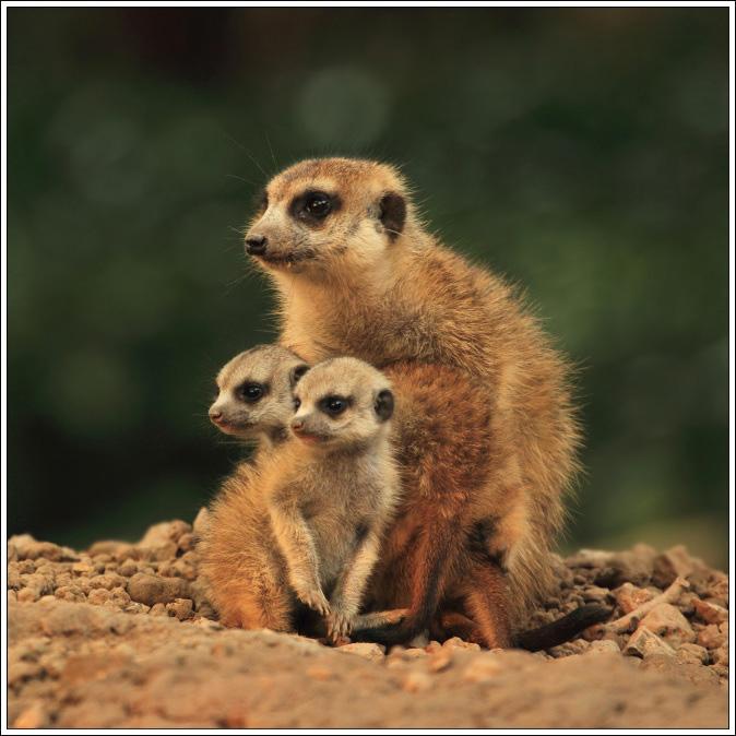动物拾趣-细尾獴的世界