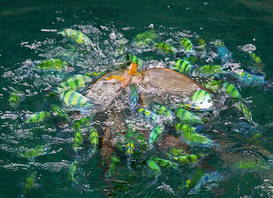 争食鱼——泰国普吉岛纪实