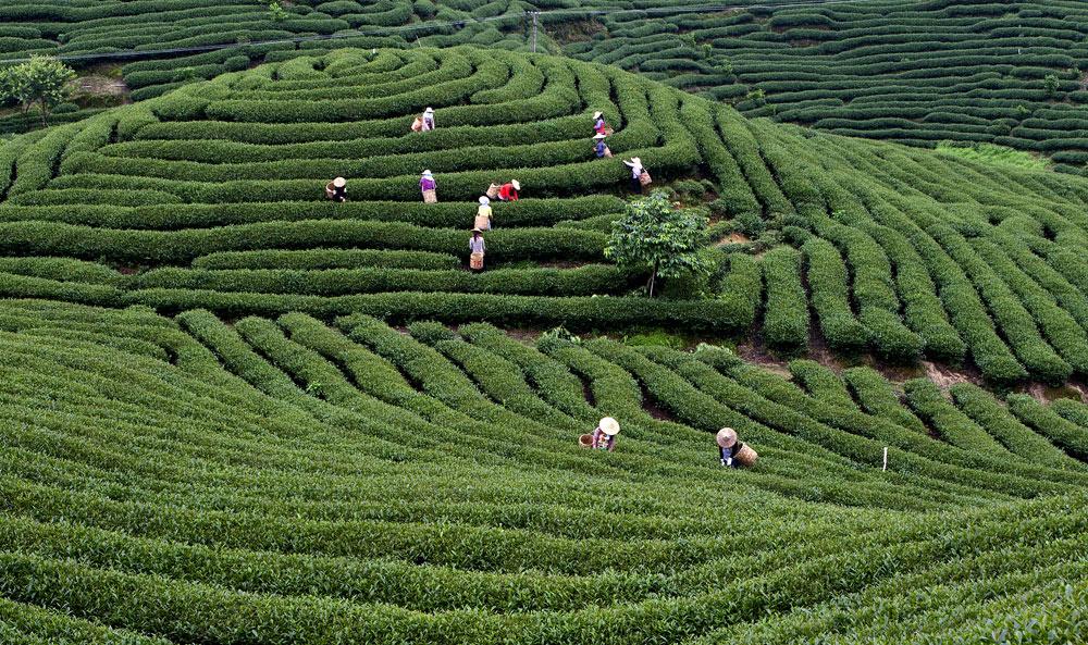 成立了湖北省恩施土家族苗族自治州宣恩县万寨乡伍家台贡茶专业合作社