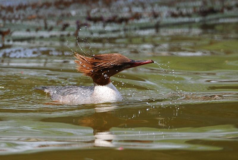 野鸭是不是保护动物
