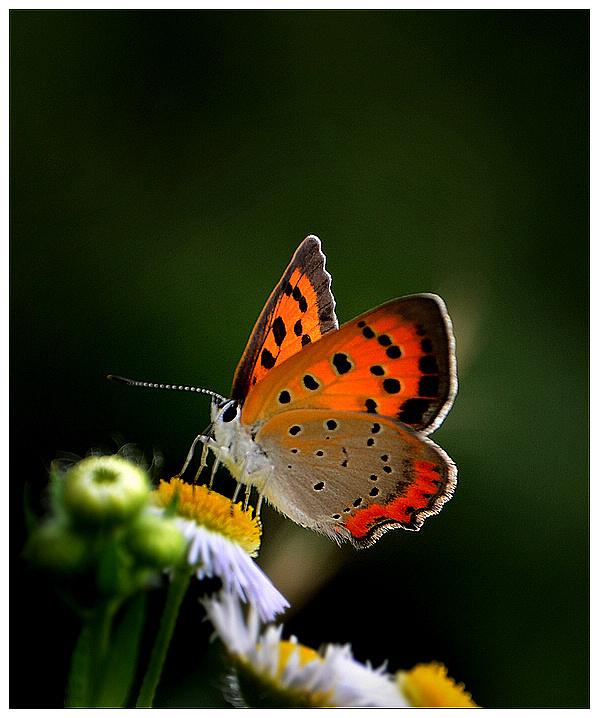 蝴蝶侧面画步骤