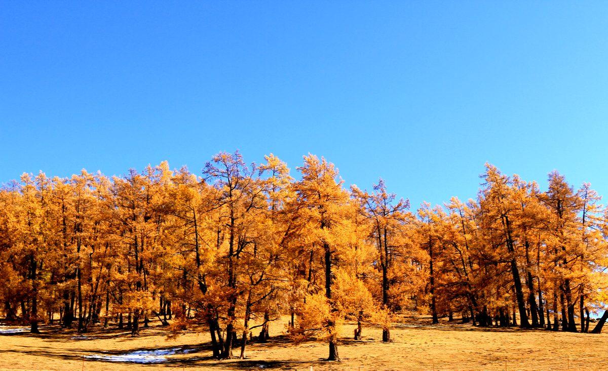 ctps.cn-- 美丽的新僵金黄色的胡杨木