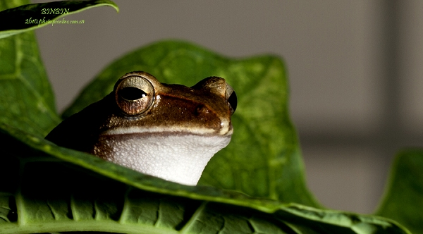 无尾目树蛙科的1属,体多细长而扁,后肢长,吸盘大,指、趾间有发达的蹼。骨节间有介间软骨(科征),与树栖生活相适应。种很多,分布于亚洲东部和东南部亚热带和热带湿润地区。中国有29种。斑腿树蛙分布最广,北达甘肃南部,南至西藏南部。 关键词: