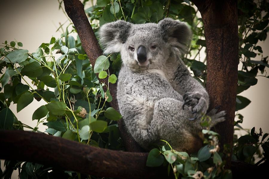 上一篇:世界上最可爱的动物-考拉; 摄影无界 车坛影协 --www.ctps.
