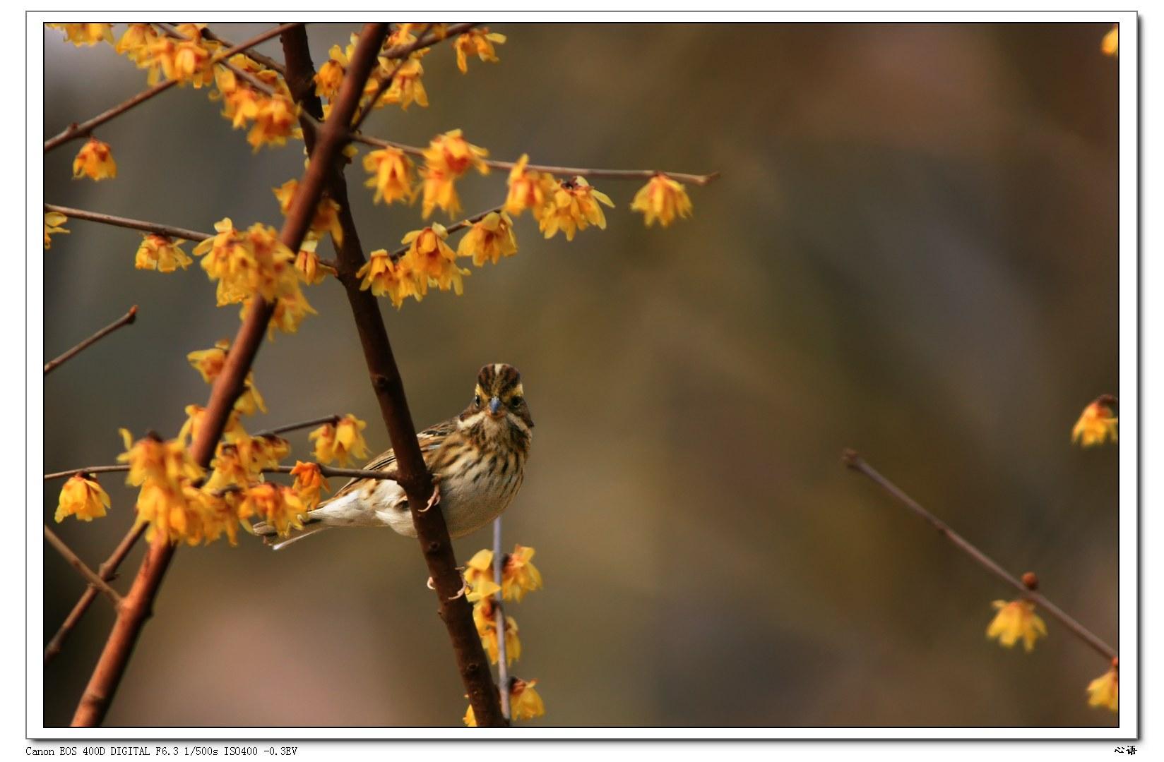 黄眉鹀与蜡梅花