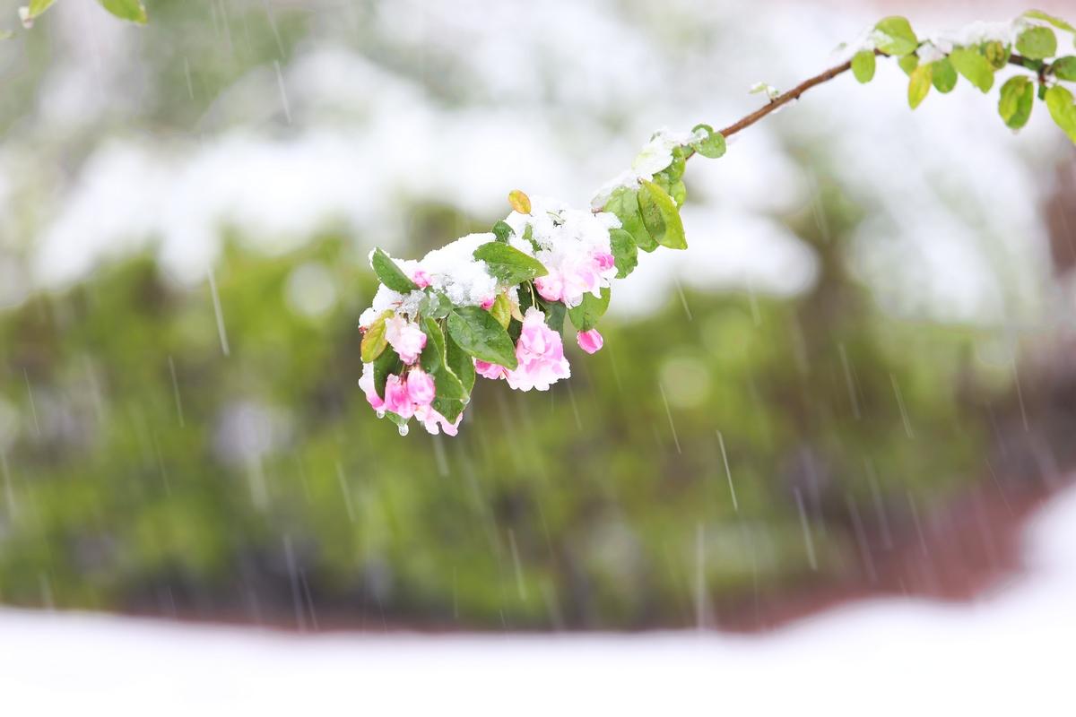 四月雪(1)---正在淅淅沥沥