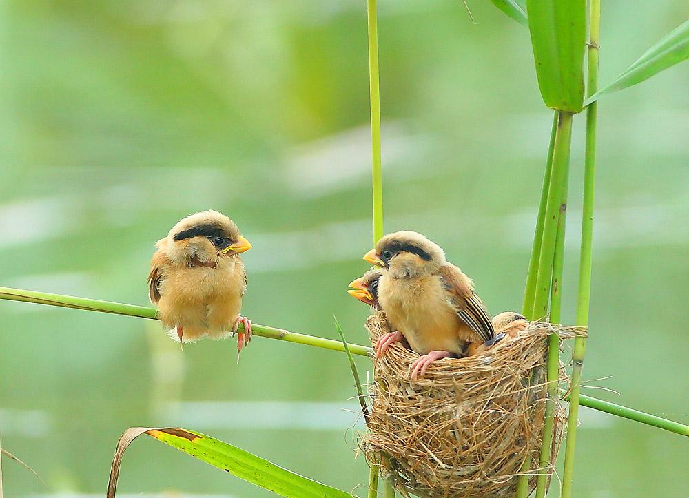 鸦鹊震旦鸦雀喂雏-鸦鹊图片