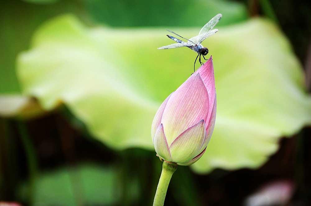 荷花荷叶蜻蜓简笔画 荷叶上的蜻蜓 荷叶蜻蜓中国