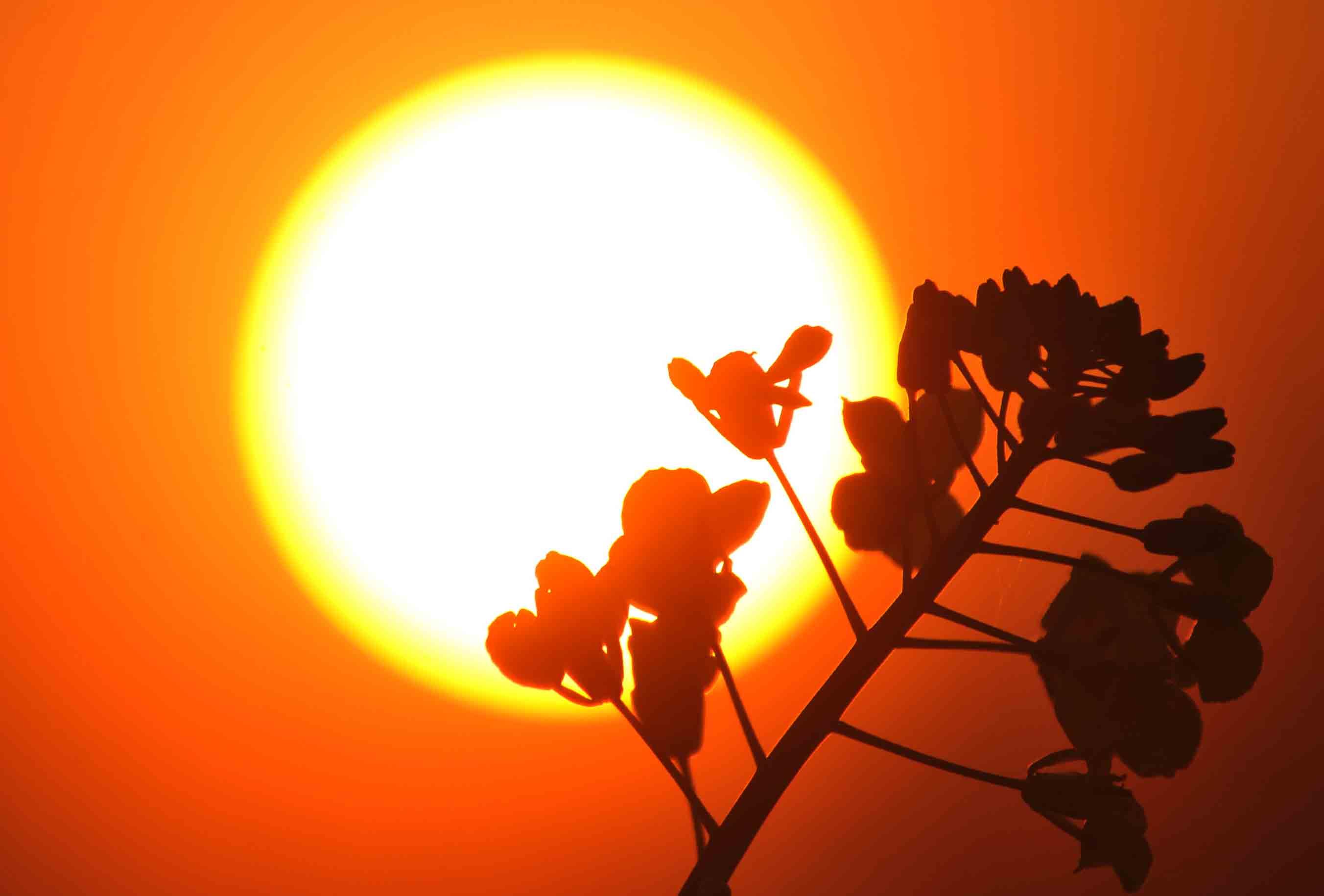 夕阳下的油菜花