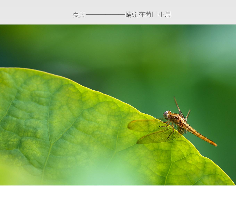 夏天--蜻蜓在荷叶上休息