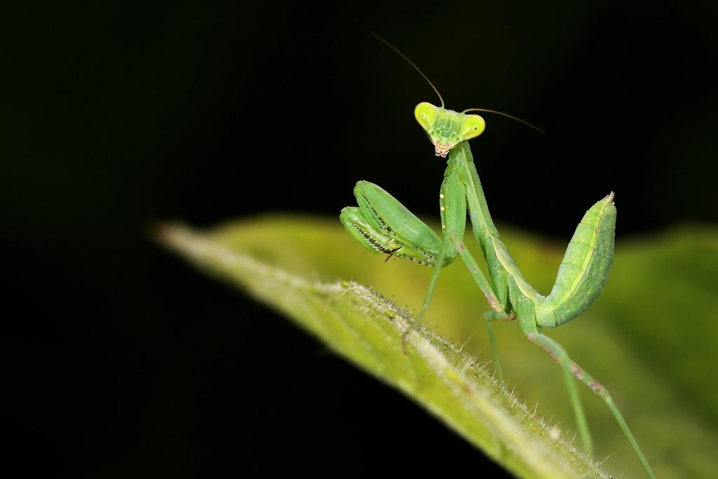 动物螳螂霸气图片