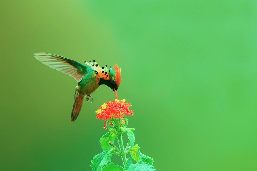 缨冠蜂鸟,是世界上体型最小的蜂鸟之一,体长仅6.6厘米,重2.3克,铜绿色的背部,白色的臀部,身材娇小玲珑,分布于南美洲。缨冠蜂鸟的红褐色冠羽呈火炬状,不算长,非常醒目,红色艳丽,仔细观看非常漂亮,称得上鸟中极品,最难得的是缨冠蜂鸟的漂亮冠羽还与其脸颊突起的橙色或红色的漂亮缨羽相辉成映,缨羽在阳光的照射下呈现出绿宝石般的光芒。这冠羽与缨羽相称简直是神来之作,在枝上缨冠蜂鸟经常做出一些憨态可笑的动作,是人们非常喜欢的一种蜂鸟。 关键词:野鸟部落 缨冠蜂鸟