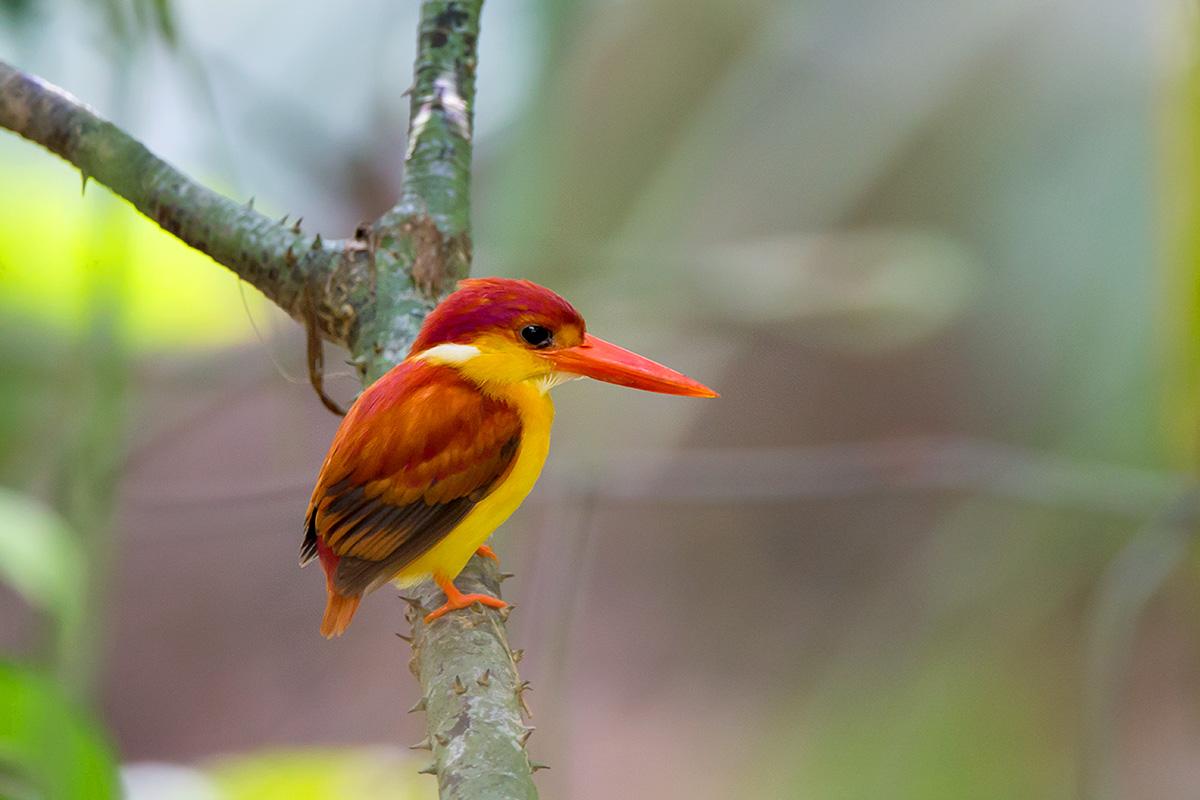 三趾翠鸟 三趾翠鸟体形非常形小,身长14 cm,雄鸟体重14-20,雌鸟体重14-16 。是一种红黄色翠鸟。额黑色;头、颈橙红色;肩羽灰褐色,羽毛端部具深蓝色羽缘;上背深蓝;下背、腰、尾上覆羽、尾羽橙红色,除尾羽外,其他各部位中央紫红色,具反光。翼灰褐色。颏白色;喉淡蛋黄白色;耳羽紫红色,具反光;嘴下至胸、腹、尾下覆羽蛋黄色,嘴以下至胸、尾下覆羽较深,腹部较浅。虹膜棕色;嘴、脚红色。    趾仅3个;尾较嘴短;翼形尖长;羽色非黑白色。嘴粗直,长而坚,嘴脊圆形;鼻沟不著;翼尖长,第1片初级飞羽稍短,第 3、