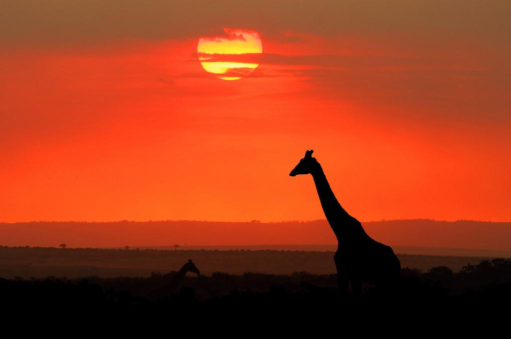 中央电视台直播东非野生动物大迁徙,去年8月本人在肯尼亚,有幸直观动物大迁徙,壮观震撼。 每年7-9月东非大草原的成千上百万的食草动物,斑马、角马、瞪羚,泅渡马拉河,寻找草源。 关键词:东非 肯尼亚 马赛马拉 野生动物大迁徙 日落
