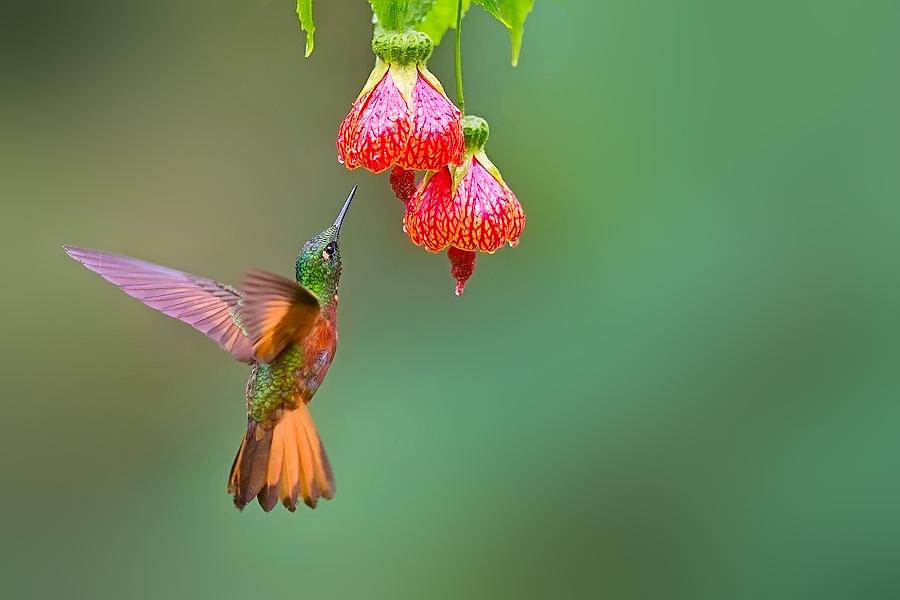 √栗胸冕蜂鸟