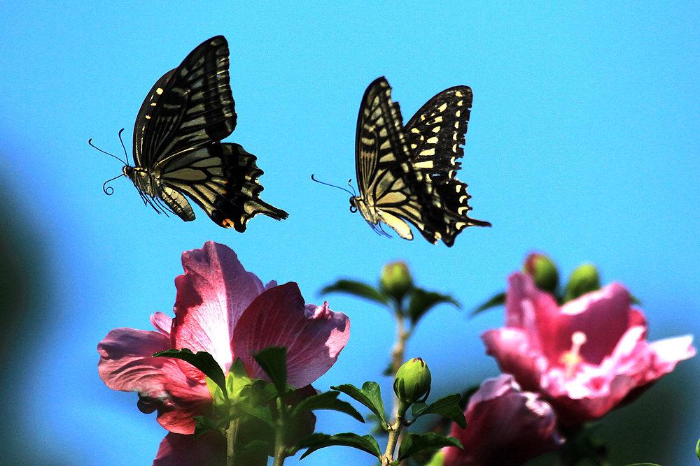 春天两只蝴蝶图片大全